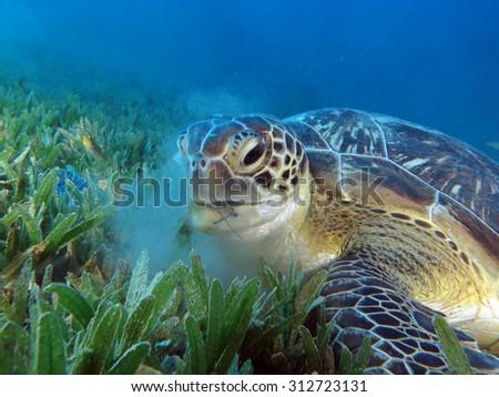 Sea turtle feeding on seagrass leaves - stock photo