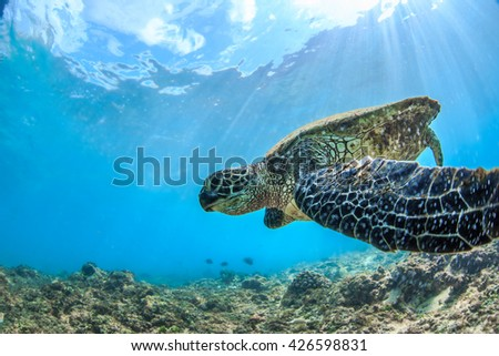 Sea turtle floating under water surface in Pacific ocean. Underwater animal feeding in natural habitat. Closeup image from Maui island in Hawaii - stock photo