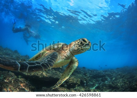 Sea turtle floating under water surface in Pacific ocean. Underwater animal feeding in natural habitat. Closeup image from Maui island in Hawaii