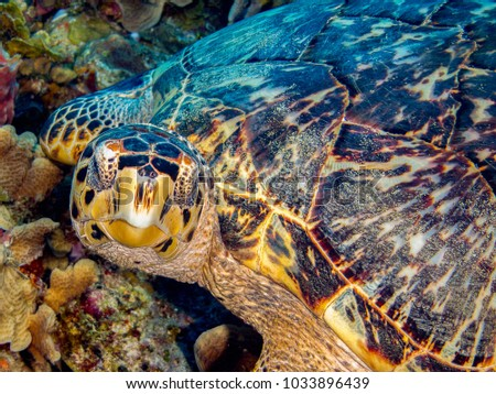 Sea Turtle, Hawksbill, looking at camera while resting on coral