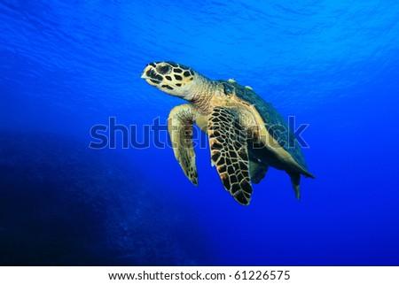 Sea Turtle (Hawksbill Turtle - Eretmochelys imbricata) - stock photo