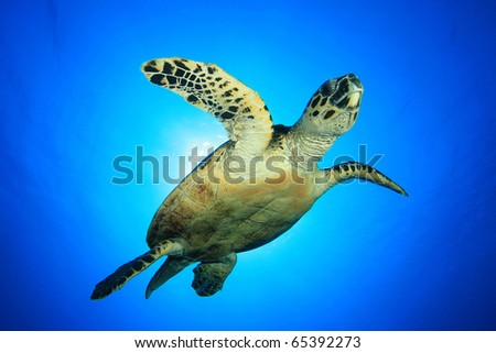 Sea Turtle (Hawksbill Turtle - Eretmochelys imbricata) - stock photo