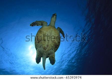 Sea Turtle (Hawksbill Turtle - Eretmochelys imbricata) against sun - stock photo