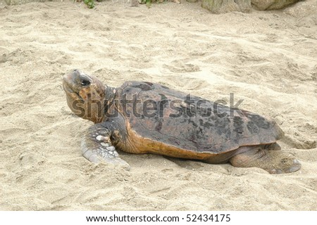 Sea turtle in sands