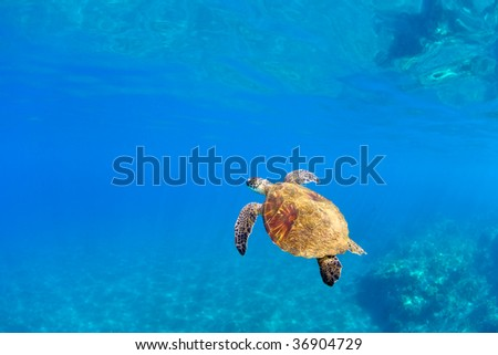 sea turtle in tropical water with copy space in maui, hawaii
