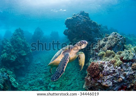 sea turtle in turquoise blue green water with coral reef in maui, hawaii