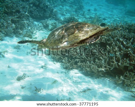 Sea turtle is swimming over a coral reef with various fish