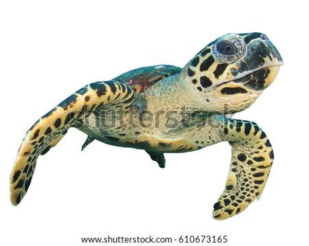 turtle white background - photo #48