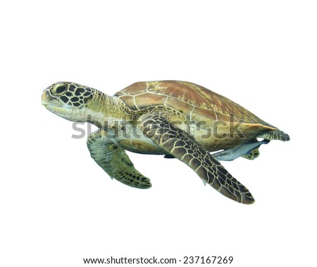 Sea Turtle isolated on white - stock photo