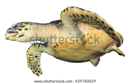 Sea Turtle isolated on white background (Hawksbill) - stock photo