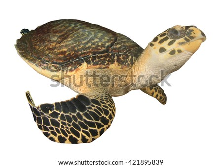 Sea turtle isolated white backgound - stock photo