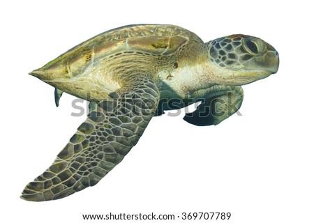 Sea Turtle isolated white background - stock photo