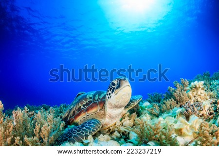 Sea Turtle looking up from a coral reef with sunbeams behind - stock photo