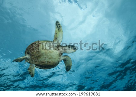 Sea Turtle near the surface and the clouds above - stock photo