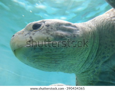 Sea Turtle Okinawa - stock photo