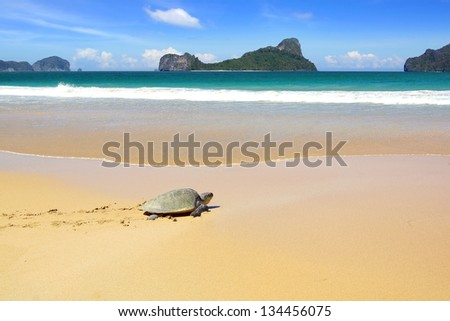 Sea turtle on a beach to lay her eggs. - stock photo