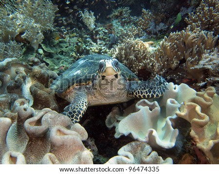 Sea turtle on coral reef, Indo-pacific ocean. - stock photo