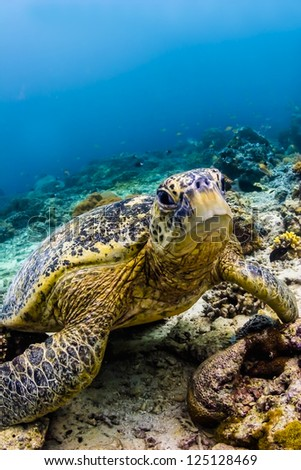 Sea Turtle on coral reef underwater on blue water background - stock photo