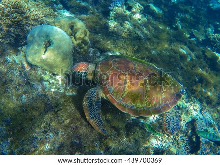 Sea turtle on sea bottom. Green sea turtle close photo in ocean lagoon. Sea turtle eating seaweed. Tropical sea ecosystem. Snorkeling with turtle. Underwater wild fauna picture. Exotic animal image