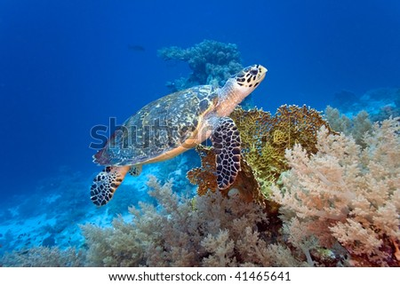 Sea turtle on the coral reef - stock photo