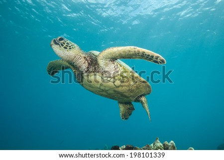 Sea Turtle photographed from below - stock photo