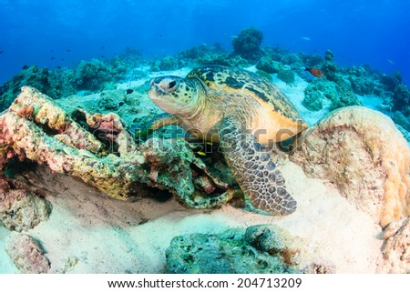 Sea turtle rests on a coral reef - stock photo