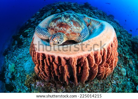 Sea Turtle sleeping on a barrel sponge on a tropical coral reef - stock photo