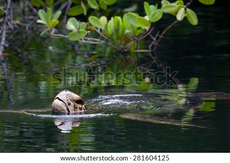Sea turtle swimming at Galapagos Islands, Ecuador, Pacific, South America   - stock photo