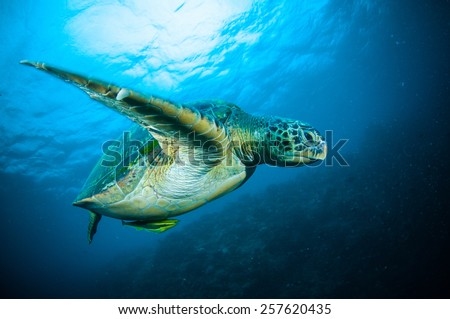 sea turtle swimming bunaken sulawesi indonesia mydas chelonia underwater photo - stock photo