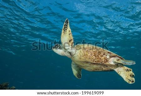 Sea Turtle Swimming from Below - stock photo