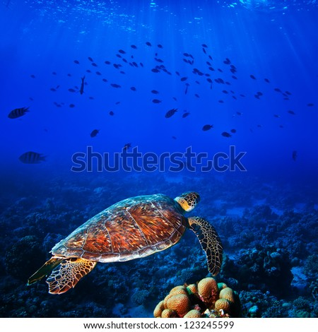 Sea turtle swimming in deep blue in front of shoal of fish with sunrays underwater - stock photo