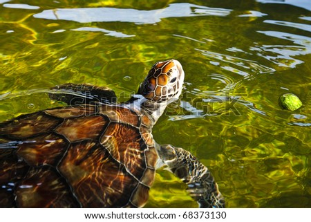 Sea turtle swimming in farm pond, thailand - stock photo