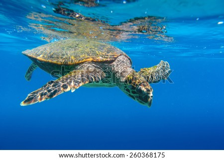 Sea Turtle swimming in Seychelles - stock photo