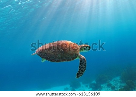 Sea turtle swimming in the sun rays. Blue sea background and sun beams around the turtle. Variety of coral shapes and soft corals on the seabed.