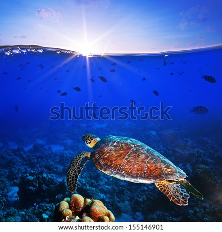 Sea turtle swimming over beautiful coral reef close the surface under sunset sky parted by waterline  - stock photo