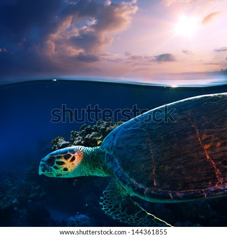 Sea turtle swimming over beautiful coral reef close the surface under sunset sky splitted by waterline - stock photo