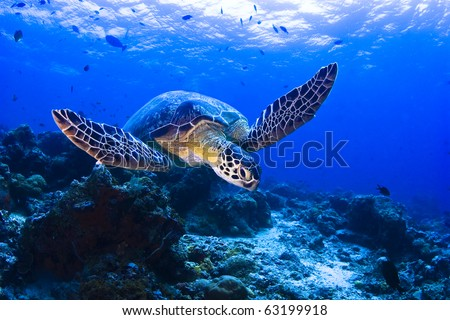 Sea turtle swimming over the coral reef - stock photo