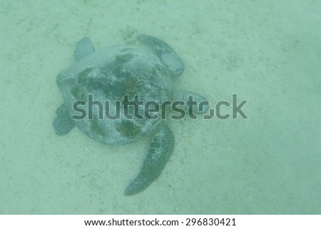 Sea turtle swimming underwater in the Galapagos Islands, Ecuador 2015 - stock photo