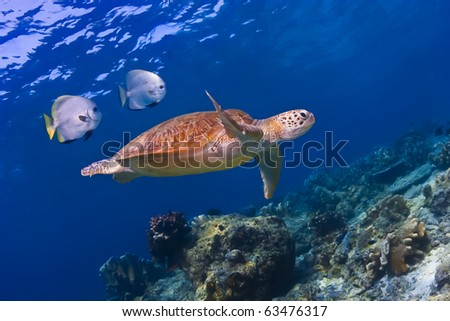 Sea turtle swimming underwater over coral reef on blue water background
