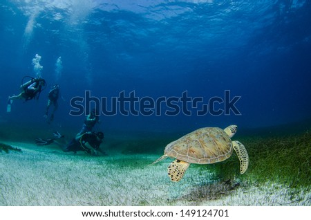 Sea turtle swimming with divers in the coral reefs of the caribbean sea, Riviera Maya. Mexico - stock photo