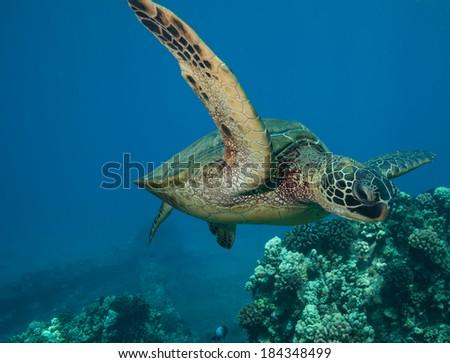Sea Turtle Underwater Mid Flight - stock photo