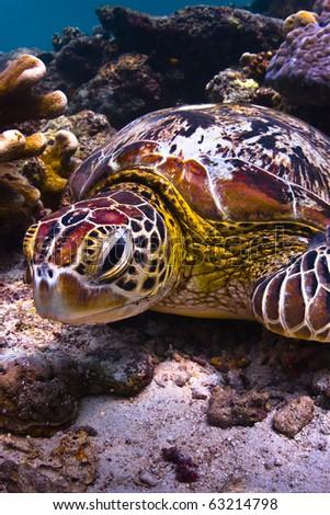 Sea turtle underwater on coral reef looking at viewer - stock photo