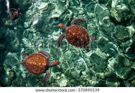 Sea turtles babies in the crystal emerald water in the ocean lagoon in Maldives. - stock photo