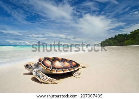 Sea turtles on the white sand beach - stock photo