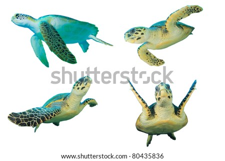 Sea Turtles on White Background. Top left is a Green Turtle (Chelonia mydas), other three are Hawksbill Turtles (Eretmochelys imbricata) - stock photo