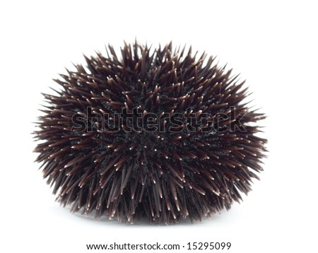 Sea Urchin - stock photo
