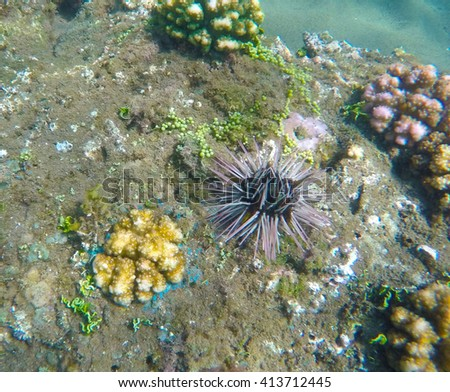 Sea urchin, coral reef animals, fresh corals at the bottom of the sea, sea danger, dangerous animal, needle animal, colorful corals, yellow corals, green corals, sea landscape, oceanic landscape - stock photo