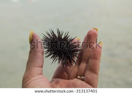 Sea Urchin in hand - stock photo