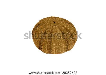 Sea urchin isolated in white - stock photo