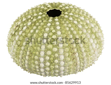 sea urchin shell isolated on white background - stock photo